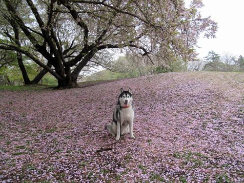 スフレと野川公園の桜2020