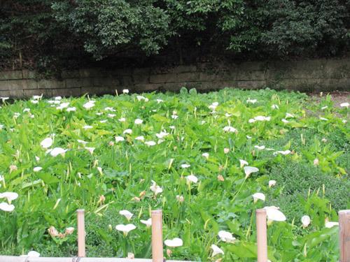 大沢の里の山葵田とカラーの花