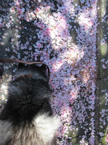 八重桜の花びらとスフレ
