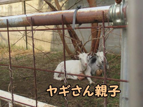 近所の山羊さん