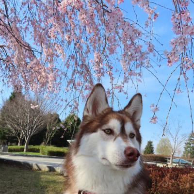 桜とマドレーヌ