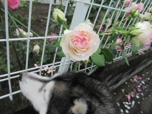薔薇とスフレ