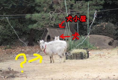 庭先にヤギ