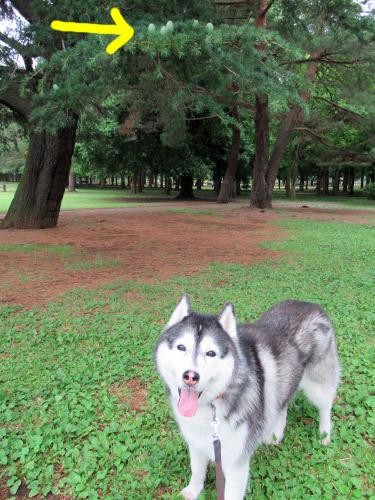 野川公園のヒマラヤスギの実