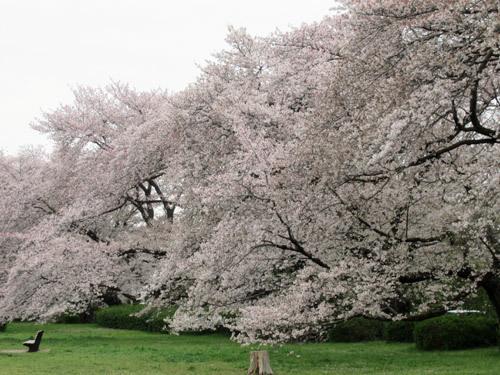 野川公園の桜2020