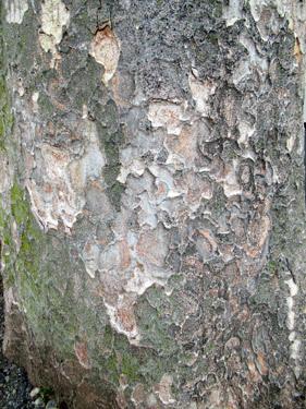 ウロコ状の幹