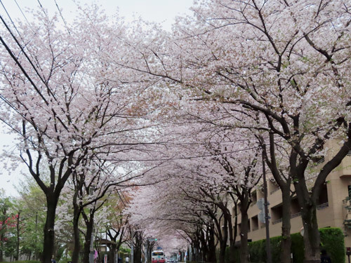 バス通りの桜