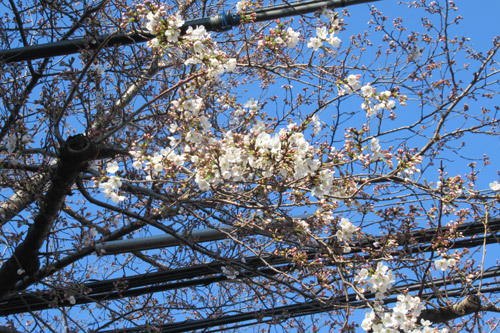 咲き始めた桜2020