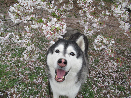 スフレと野川公園の桜