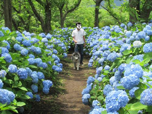 八木崎公園の紫陽花とスフレ