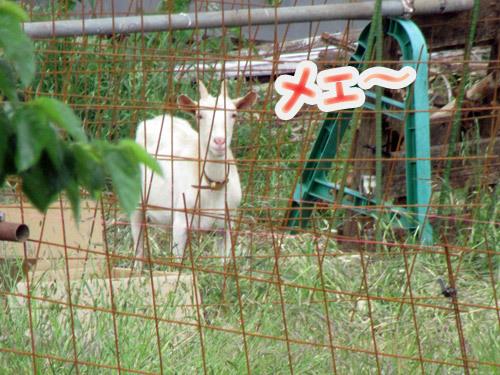 山羊さん発見