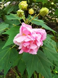 芙蓉の花アップ