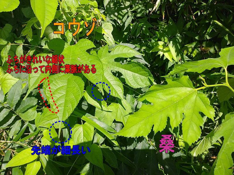 桑の葉とコウゾの葉
