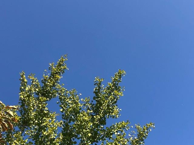 イチョウと青空