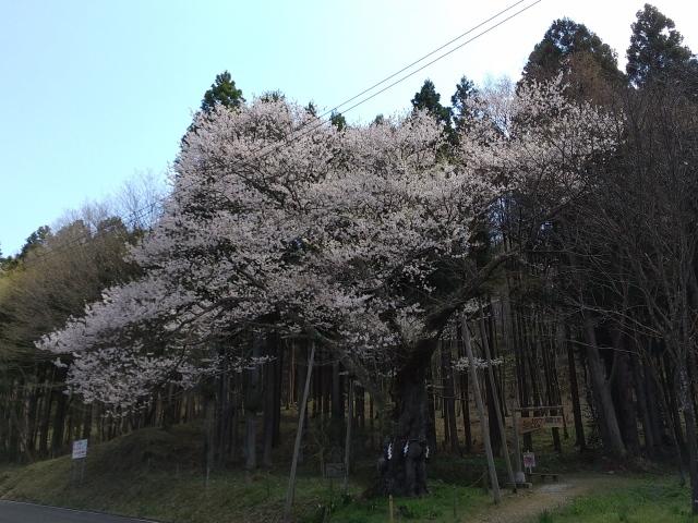 山王桜0410