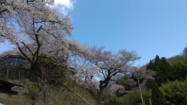 おいち石割桜0410