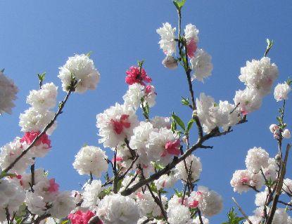 八重桜3-31