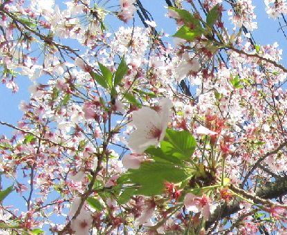 葉桜3-31