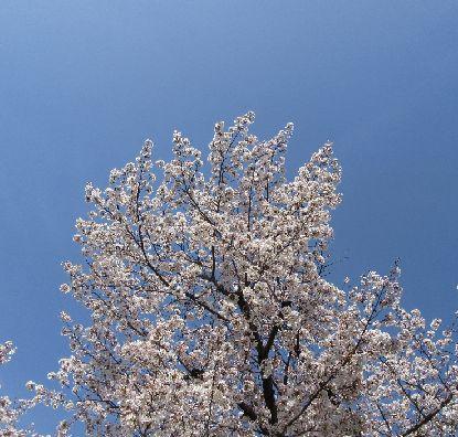 桜3-31