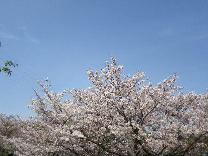 4-1鶴見緑地桜