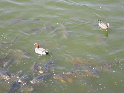 4-1鶴見緑地鯉