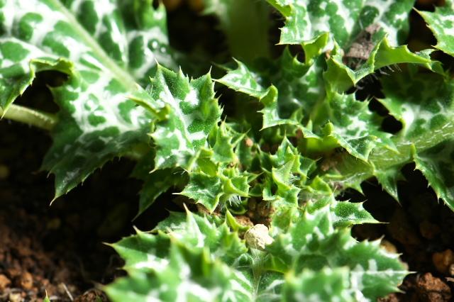 斑入りのロゼットの葉が美しい・・・マリアアザミ。