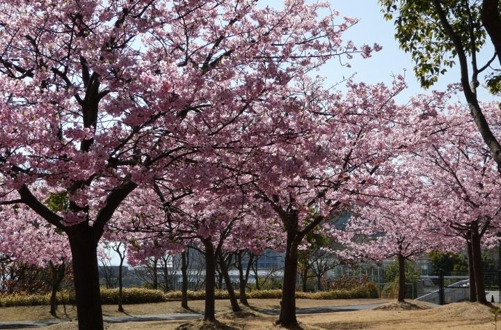 淡路島の桜