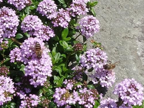 20200425ソーシャルディスタンス蜜吸いは1秒間に3回ぐらい別の花に口を突っ込