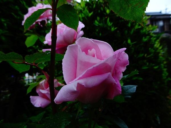 20200510花5桜貝