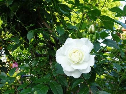 20200511朝薔薇の 011サマースノー