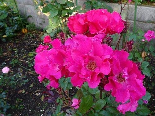20200511朝薔薇の 012パーマネントウエーブ