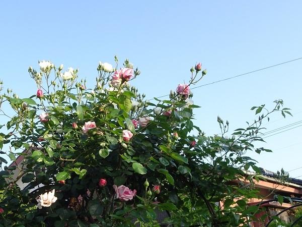 20200511朝薔薇の 014サマースノーと羽衣