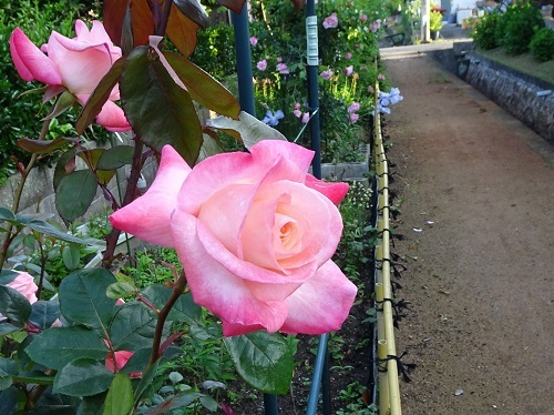 20200511朝薔薇の 015ジェミニ