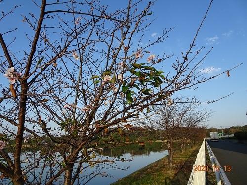 20201013塩害で桜8