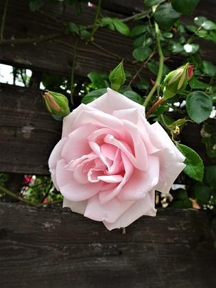 ピンクちゃん咲き始めました!