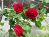2016年赤いバラ