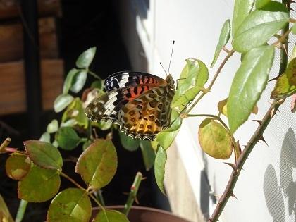 きれいな蝶々さん