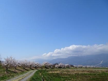 堤防沿いに続く桜並木