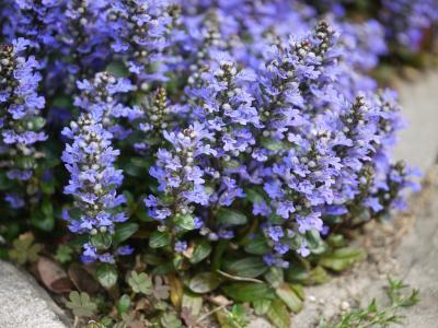 Ajuga tenorii (reptans) Chocolate Chip
