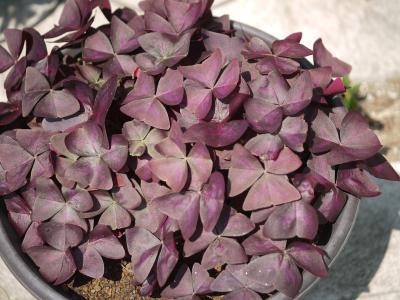 Oxalis 紫の舞