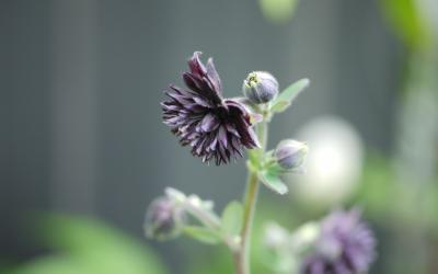 Aquilegia vulgaris plena Black Barlow
