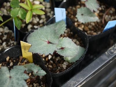 Helleborus sternii Silver Star