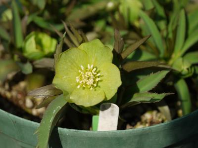 H.dumetorum