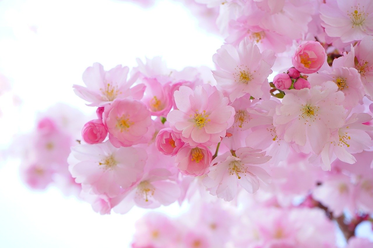 japanese-cherry-trees-324175_1280.jpg