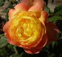 バラ オレンジ・フェイス