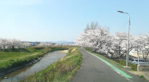 10 帰路の桜