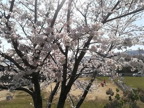 11 自宅公演前の桜