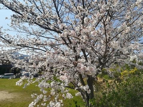 12 自宅公演前の桜