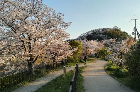 6 落花盛んな三室山の桜