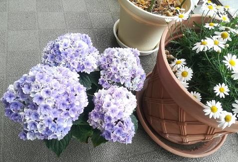 5 母の日のプレゼント 紫陽花